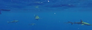 Accord de protection des requins