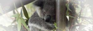 Collecte pour sauver des Koalas.