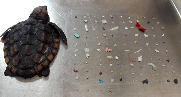 Tortue et morceaux de plastique