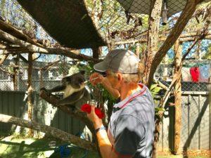 Incendies en Australie : 737 dollars pour sauver les koalas